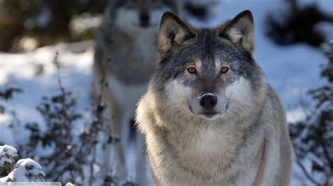 Wolf Desktop Wallpaper Hd by Wolf Animals Nature Wildlife Wallpapers Hd Desktop