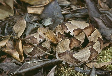 The Most Venomous Snakes Of Florida - WorldAtlas