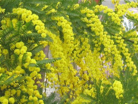 fiori e mimose come coltivare la mimosa dai fiori gialli acacia dealbata