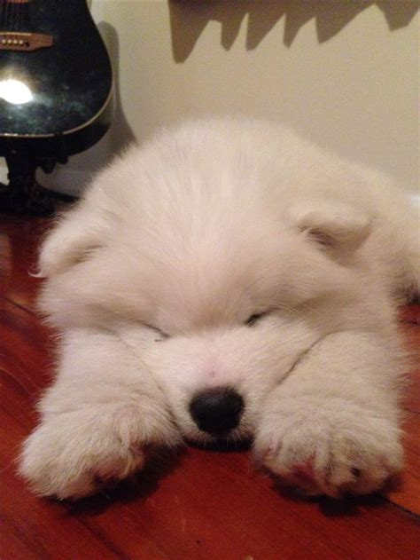 329 Best Images About Samoyeds And Collies ️ On Pinterest