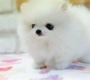 Cute Puppy Dogs: cute pomeranian puppies