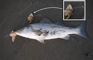 Striped Bass Fishing Bait Rigs