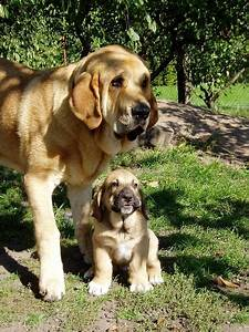 spanish mastiff family spain mi espana i pinterest With mastiff dog door