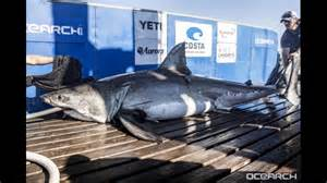 great white sharks surface   outer banks