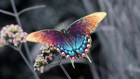 Butterfly Wallpaper Hd 1080p