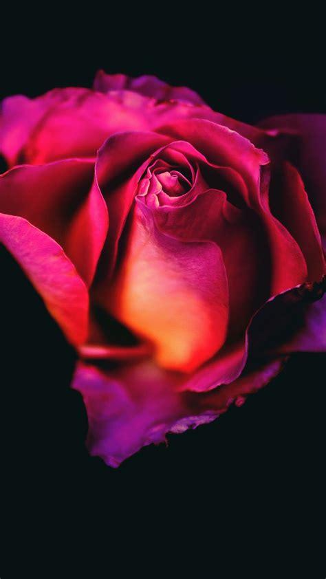 Download Rose Flower Dark Background Free Pure 4k Ultra Hd