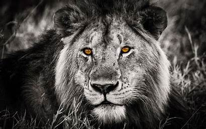 Wallpapers Lion Portrait Phone Android Animals