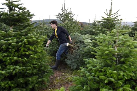 order real christmas tree how to buy a real christmas tree purchase and care tips 9116