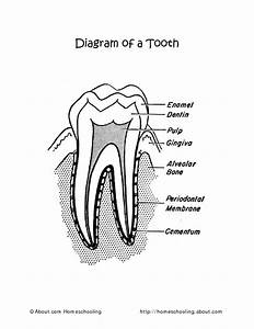 Diagram Of A Tooth Worksheet For 2nd