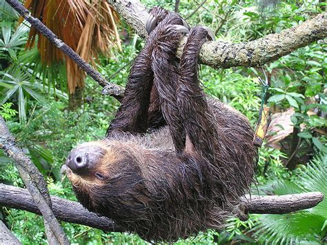 Monday Two Toed Sloths Posting And Toasting