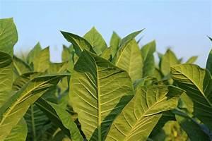 Tabak Selber Anbauen : tabakpflanze alles zu pflanzung pflege verwendung plantura ~ Frokenaadalensverden.com Haus und Dekorationen