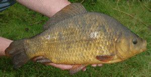 short breakdown    carp species angling