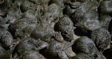 film review rats night  terror  hnn