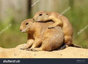 Prairie Dogs Hugging Stock Photo 60467866 : Shutterstock