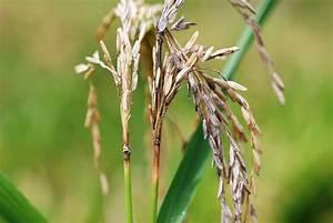 Rice Pathology