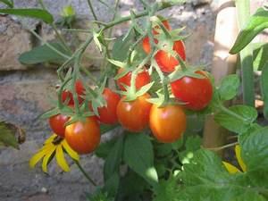 Tomaten Balkon Kübel : tomate mein garten ratgeber ~ Yasmunasinghe.com Haus und Dekorationen