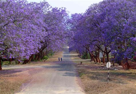 jacaranda tree happiness all around us flowering trees in india