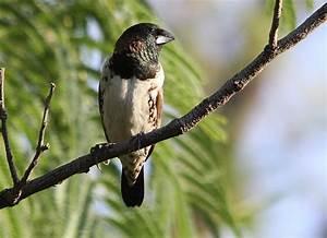 Bronze mannikin - Wikidata  Bird