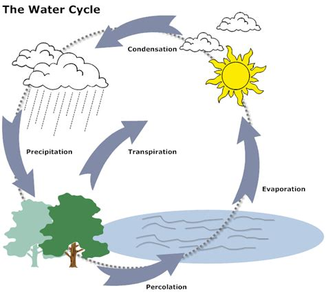 exle image water cycle diagram anatomy biology