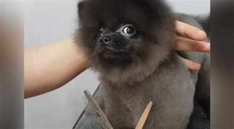 dancing dog loves   hair cut