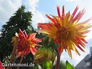 Wann Dahlien Pflanzen : wann kann ich die dahlien rauspflanzen gartenmoni altes wissen bewahren ~ Frokenaadalensverden.com Haus und Dekorationen