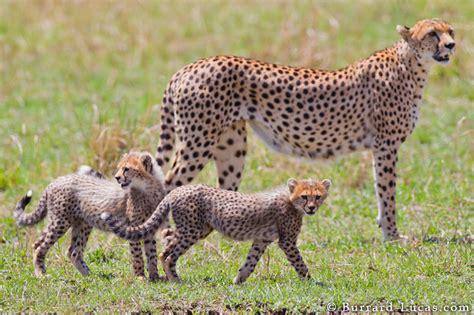cheetah family burrard lucas photography