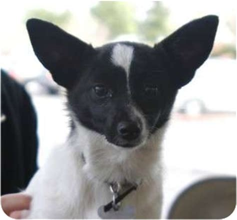 rat  pap rat terrier papillon mix info temperament