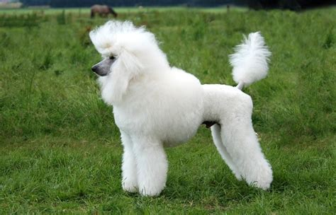 poodle standard black white brown wds