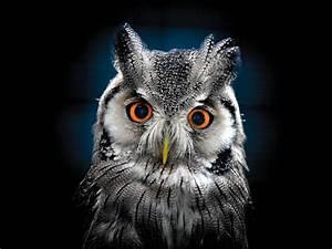 Owl, Wallpaper, Best, Wallpaper, Hd, For, Desktop, Wallpapers13, Com
