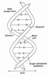 2  A Dna Double Helix
