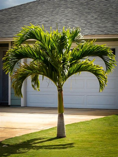 christmas palm trees  sale   tree center