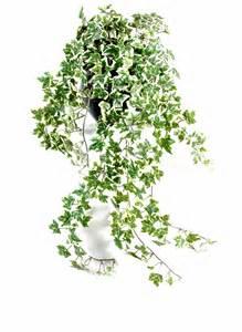 plante grimpante interieur