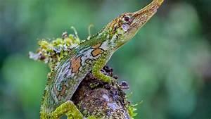 Wallpaper Pinocchio lizard, Ecuador, green, nature, animal
