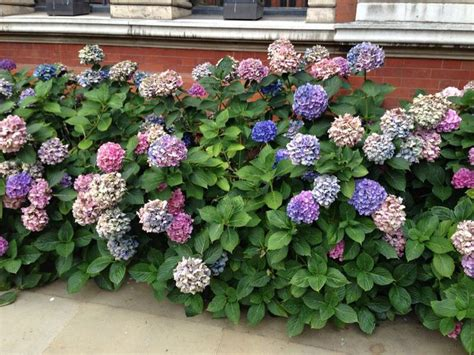 hydrangea border garden hydrangea border so pretty garden makeover pinterest