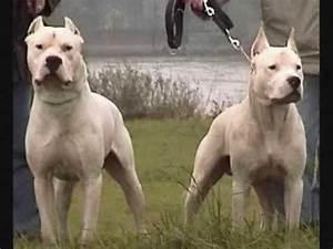search q=cordoba fighting dog animal breed