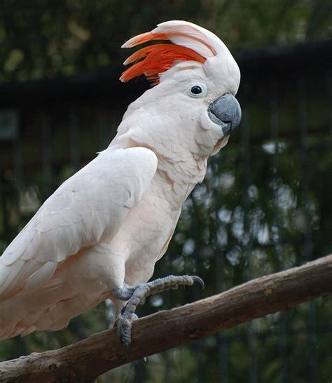 moluccan cockatoo moluccan cockatoo alexandria zoo