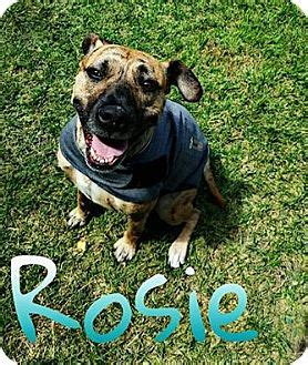 fargo  boxerpit bull terrier mix meet rosie  dog