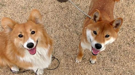 Roku & Shiba Inu / ロクさんと柴犬 20160212 Welsh Corgi Dog コーギー 犬