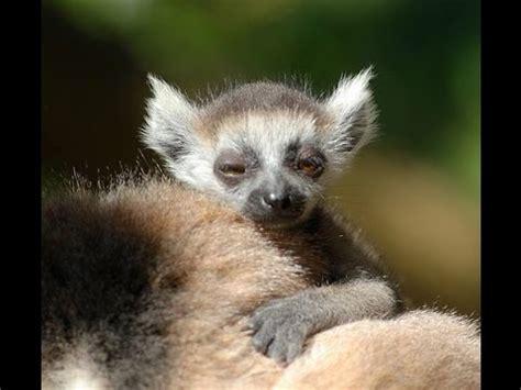 List of Lemur Species