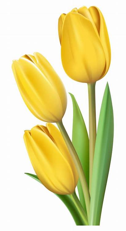 Tulip Yellow Clipart Flower Tulips Flowers Painting