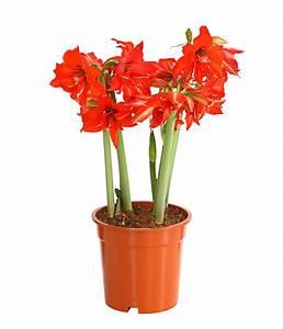 Amaryllis Zwiebeln Kaufen : amaryllis 39 multiflower 39 dehner ~ Frokenaadalensverden.com Haus und Dekorationen