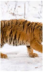 Snow Tiger Cub Wallpapers | HD Wallpapers | ID #7297