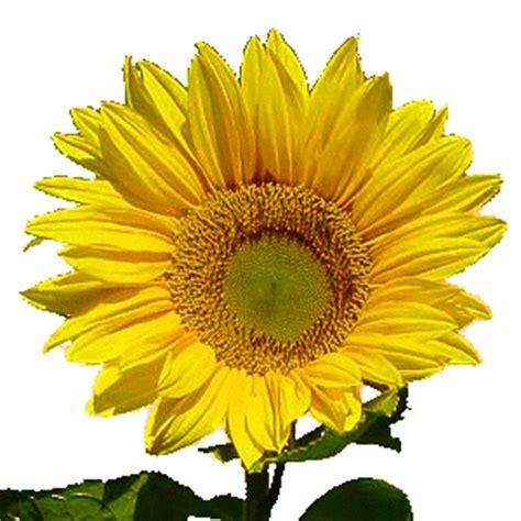 sedikit tentang catatanku bunga matahari tanaman seribu