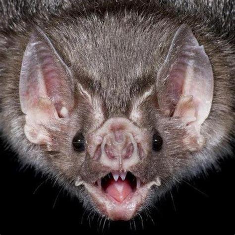 vampire batit  sooo cute  cool stuff