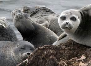 Image result for images of lake baikal seal
