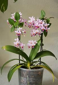Orchidee Klebrige Tropfen : phalaenopsis equestris zeigt bl tenpower majas pflanzenblog ~ Lizthompson.info Haus und Dekorationen