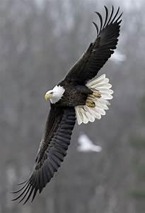 bald eagles winter at carolina lake the blade