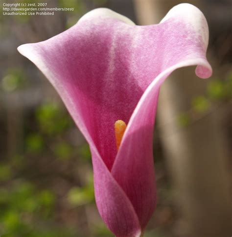 calla lilies south africa plantfiles pictures calla lily picasso zantedeschia by kiepersol