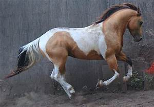 Paint horse galloping | Horses | Pinterest