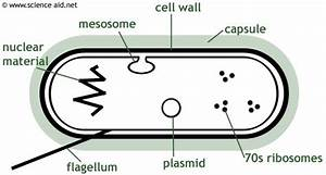 Diagram Of A Bacterium Including Mesosome  Plasmid  Cell